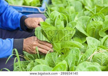 Gardener Harvesting Fresh Green Lettuce Salad Organic On Blurred Vegetable Garden Background. Lettuc