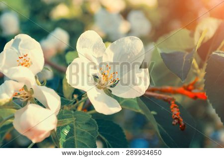 Spring white flowers of spring apple tree blooming in the spring garden. Natural spring flower landscape, creative filter applied