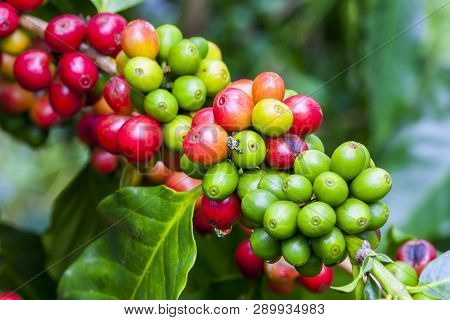 Coffee Beans Ripening On Tree In North Of Thailand,arabica And Robusta Tree In Coffee Plantation.