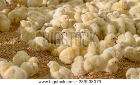 Little Yellow Chicken Chicks With Farm Background