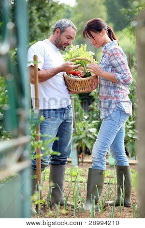 Couple picking vegetables in their kitchen garden