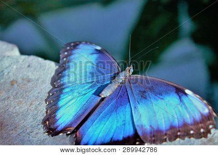 Blauer Morphofalter, Schmetterling Ein Blauer Morphofalter Setzte Sich Neben Mich Auf Eine Steinkant