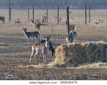 Fallow Deer Breeding On A Forest Background