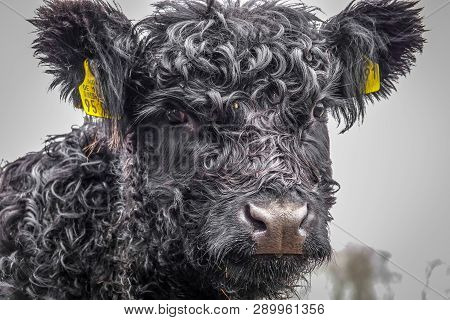 A Small Galloway Cow With Black Curls