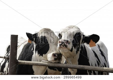 Two Steers By The Fence Of A Feedlot With The Background Removed And Isolated.