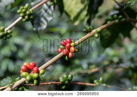 Close Up Coffee Bean,arabicas Coffee Tree