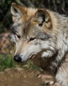 A closeup capture of a male mexican wolf. poster