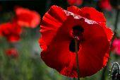 Large scarlet poppy flower enlightened by sun poster