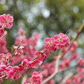 Spring time plum blossoms (ume no hana) at a temple in Kyoto Japan poster