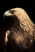 Golden eagle staring at left side. poster