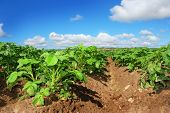 Healthy Young Potato plants in a big field against beautiful blue sky poster