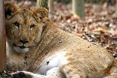 This is an image of a young lioness cub. poster