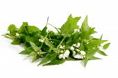 Fresh stinging nettle leafs on bright background. poster