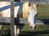 white and tan horse with blue eyes and pink nose peeking through gray fence poster