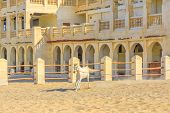 Purebred white Arabian horse runs in a paddock in Doha center. The traditional stables are part of old Souq Waqif market area. Qatar, Middle East, Arabian Peninsula in Persian Gulf. poster