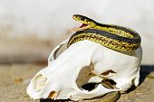 Garter Snake resting On A Fox Skull in the sand poster