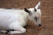 small white goat with black markings sleeping in the gravel poster