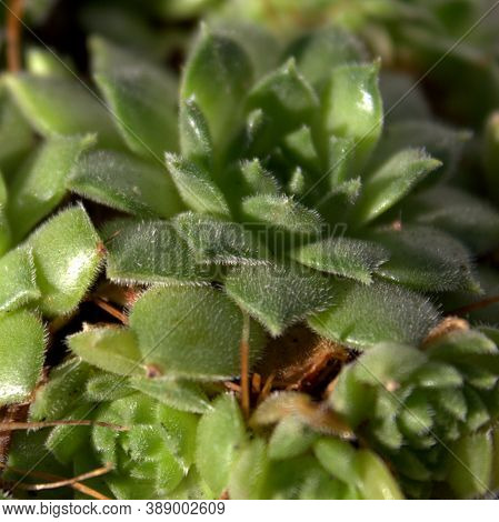Plant-succulent Stone Rose. Macro. View From Above.