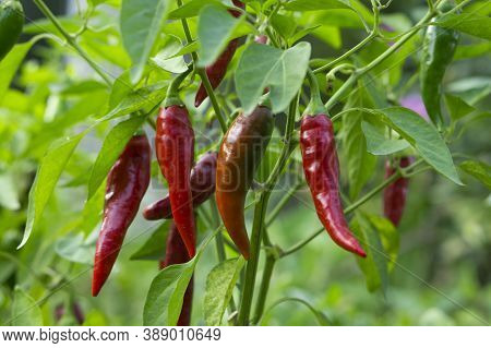 Beautiful Chili Peppers On The Bushes. Red Chili Peppers On The Farm. Hot Red Peppers In The Garden.
