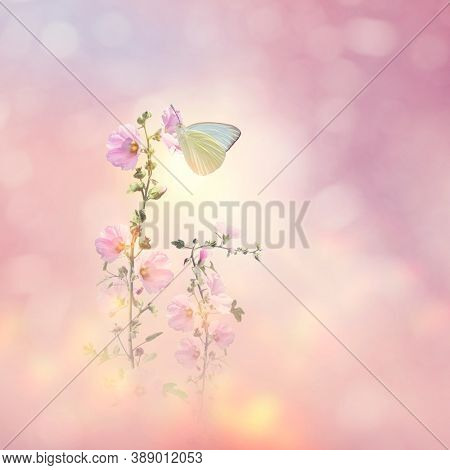 Great Southern White butterfly feeds on hollyhock flowers