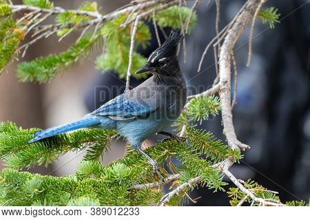 A Stellar Jay Blue Bird Perched On A Pine Tree In Rocky Mountain National Park In Colorado