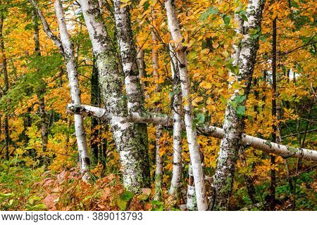 Many River birch trees with fall foliage in Michigan wood lands