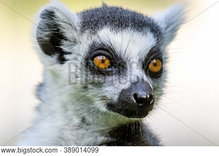 The Ring-tailed Lemur (lemur Catta) Close Up Portrait