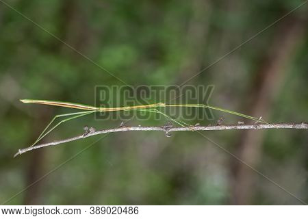 Image Of A Siam Giant Stick Insect On The Branch On Nature Background. Insect. Animal.