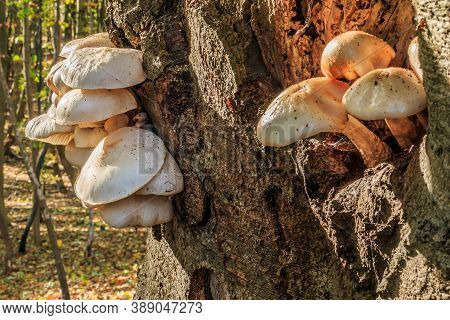 Several Mushrooms Grow On A Deciduous Tree. Oyster Mushrooms On A Knothole On A Tree Trunk. Mushroom