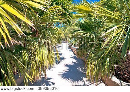 Palm Tree Jungle In Palmizana Arboretum, Pakleni Otoci Archipelago, Dalmatia Region Of Croatia