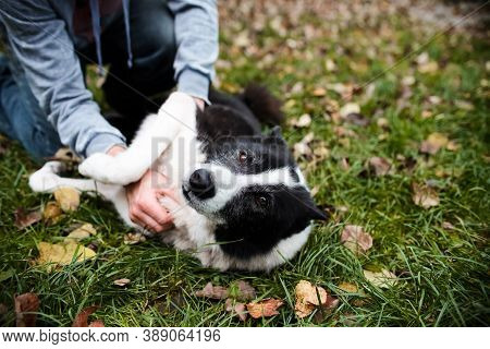 A Man Scratches A Dog's Belly. The Dog Lies On The Autumn Lawn With A Contented Look. Portrait Of A