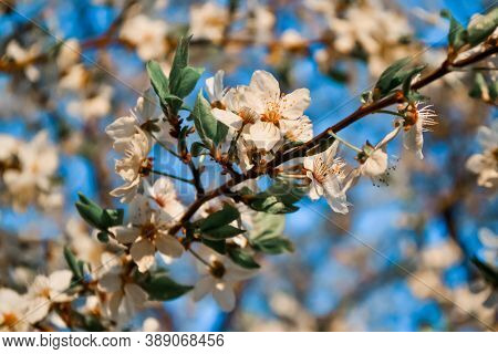 Blooming Thin Twig Of Spring Apple Tree With White Flowers With Petals, Orange Yellow Stamens, Leave
