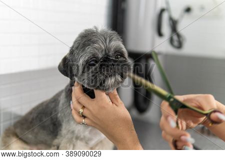 Hairstyle Or Haircut Treatment With Groomer Scissors To A Gorgeous Shih Tzu Breed Dog Undergoing Can