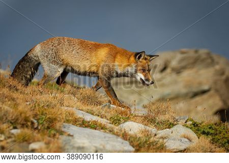 Red Fox (vulpes Vulpes) Captured In The High Mountains In The Evening. Beautiful Animal And Colors.