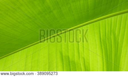 The Textured Background Of A Green Banana Leaf Close-up With Large Veins And The Structure Of The Ce