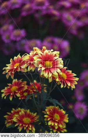 Yellow-red Chrysanthemums On A Blurry Background Close-up. Beautiful Bright Chrysanthemums Bloom In