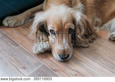 Sad Dog, Bad Mood, Lie Down And Rest, Pensive Pet, Animal Is Sick