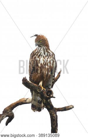 The Changeable Hawk-eagle Or Crested Hawk-eagle (nisaetus Cirrhatus) Sitting On The Branch. Large As