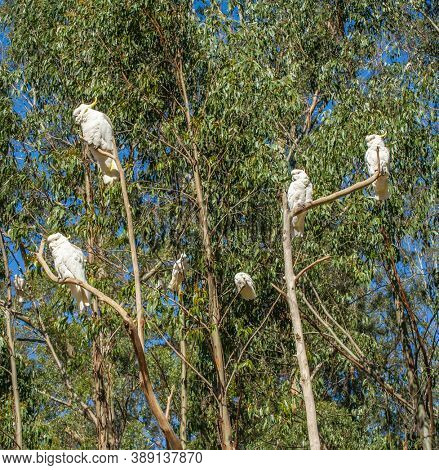Wild cockatoos on a branch. Seen in Dandenong Ranges national park, Victoria - Australia