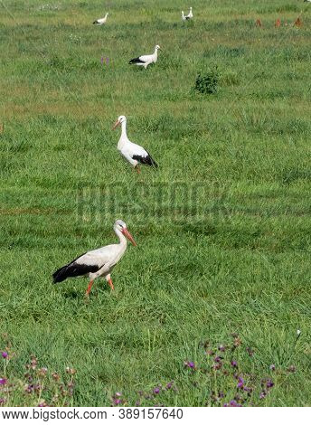 Multiple storches sitting on the grass