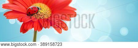 Ladybug On Red Gerbera Daisy Flower On Blur Blue Background. Bright Spring Background Banner