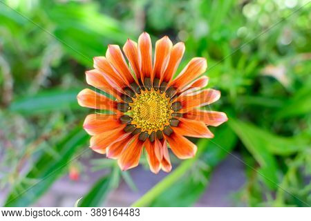 Top View Of Many Vivid Orange Gazania Flowers And Blurred Green Leaves In Soft Focus, In A Garden In