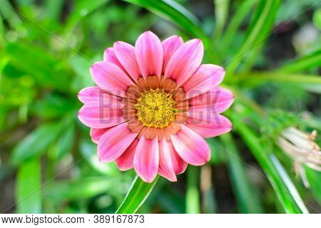 Top View Of Many Vivid Pink Gazania Flowers And Blurred Green Leaves In Soft Focus, In A Garden In A