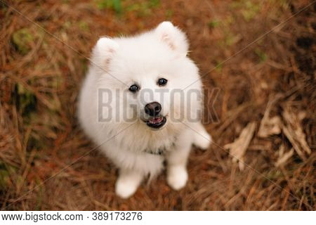 japanese spitz puppy on natural background, outdoors