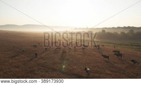 Aerial View Of Summer Glade. Herd Of Cows Are Shining In The Rays Of The Setting Sun. Rural Animals