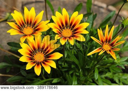 Flowers Of Yellow Gazania Viewed From Above.