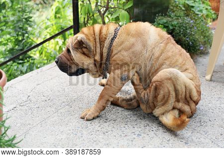 Older Sharpei Dog Sits In The Courtyard By The Garden And Scratches Himself With His Hind Paw And Is