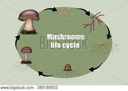 Diagram Mushroom Anatomy Life Cycle Stages. From Spore Release To Inoculation, Germination, Mycelial