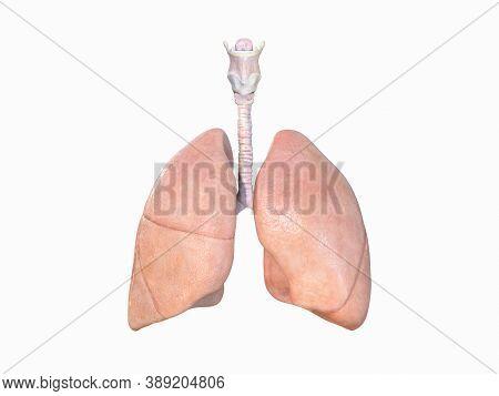 Realistic Lungs Anatomy, Human Respiratory System,lungs 3d, Pneumonia, Coronavirus, Covid-19,cancer,