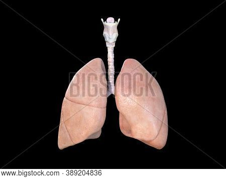 Lung Anatomy. Lungs Icon. Respiratory System Realistic Illustration. Internal Organs Of The Human De